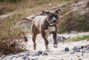 Top 4 Dangerous Dog Breeds - Pitbull