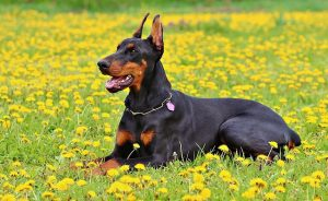 Top 4 Dangerous Dog Breeds - Doberman