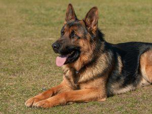 Top 4 Dangerous Dog Breeds - German Shepherd