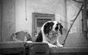 Top 4 Dangerous Dog Breeds