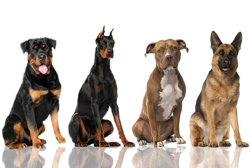 Top 4 Dangerous Dog Breeds
