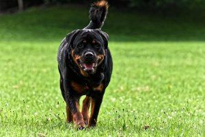 Top 4 Dangerous Dog Breeds - Rottweiler