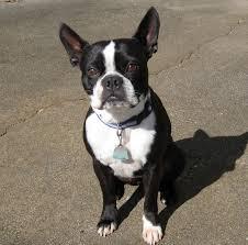 Low Maintenance Dog Breeds - Boston Terrier