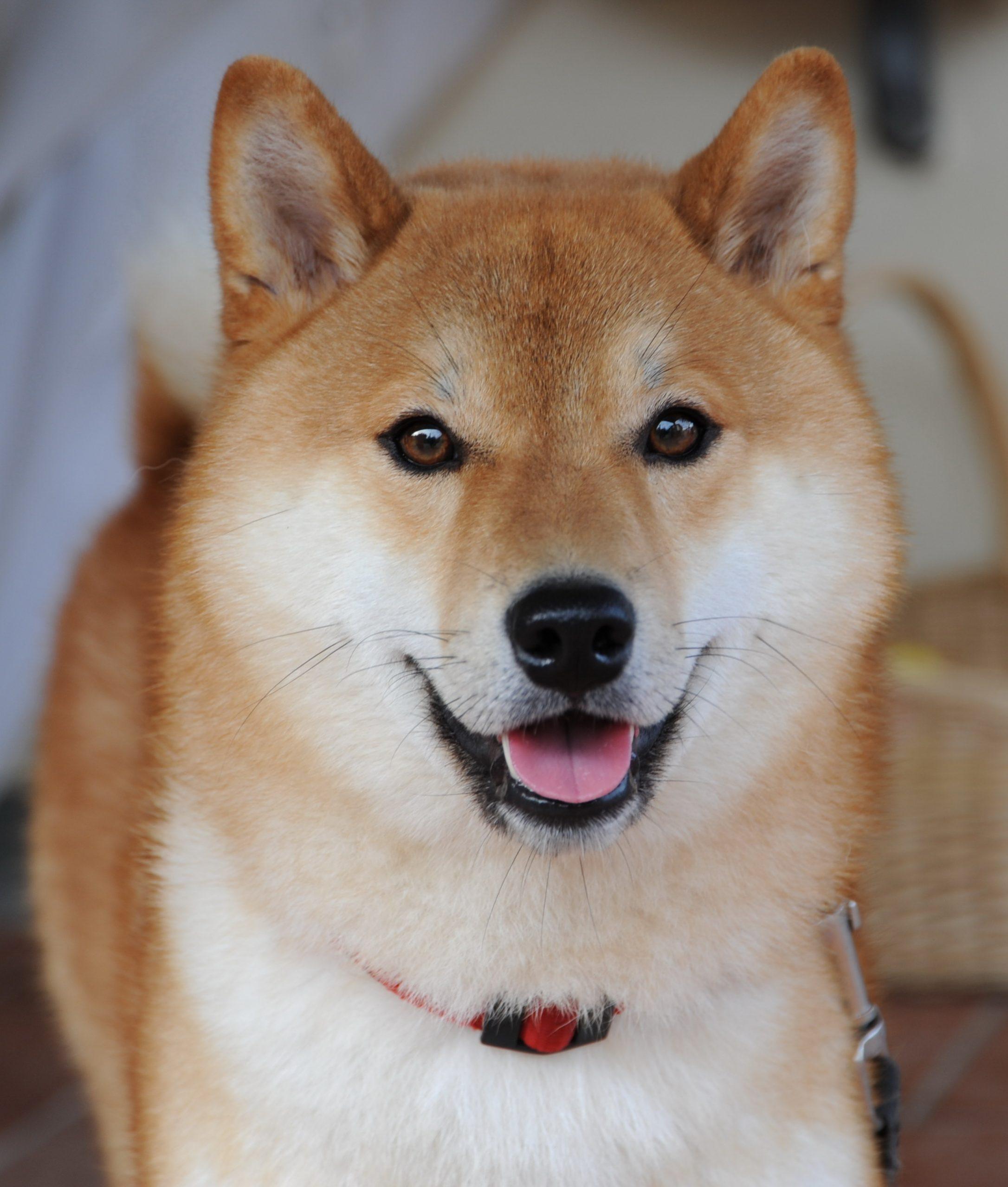 Low Maintenance Dog Breeds - Shiba Inu