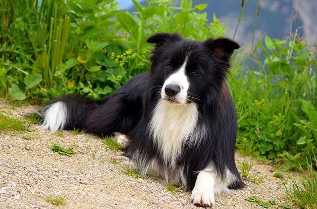 Einstein Dog Breeds – The Smarty Pants - BORDER COLLIE