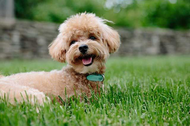 Einstein Dog Breeds – The Smarty Pants - Poodle