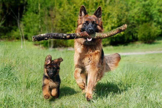 Einstein Dog Breeds – The Smarty Pants - GERMAN SHEPHERD