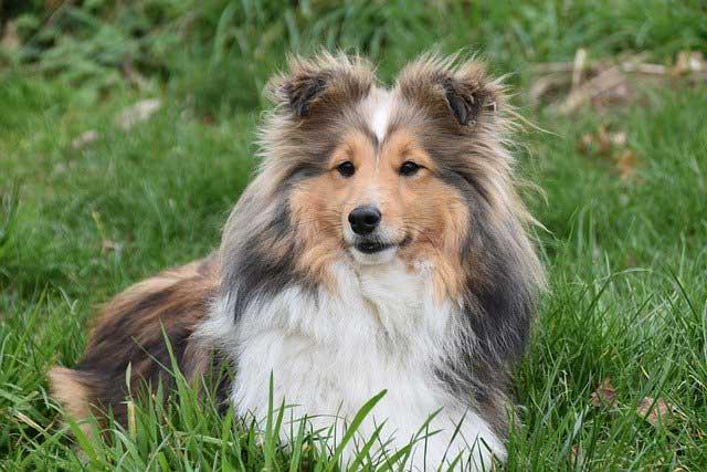 Einstein Dog Breeds – The Smarty Pants - SHETLAND SHEEPDOG