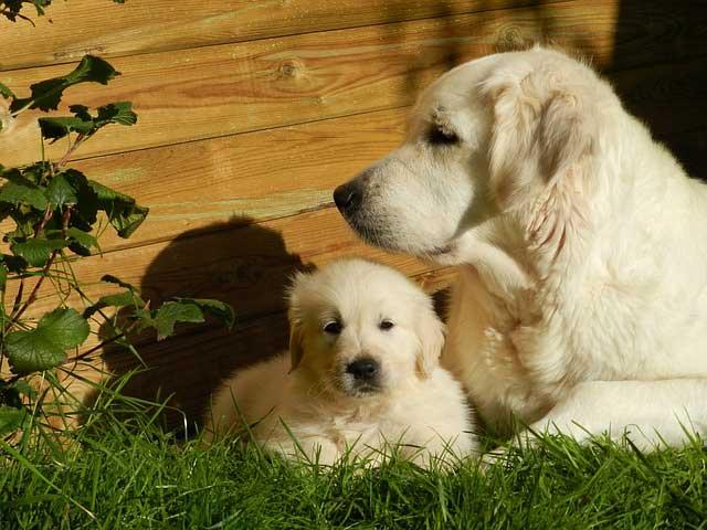 Einstein Dog Breeds – The Smarty Pants - Golden Retriever