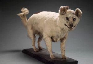 Extinct Dog Breeds – you'll rarely hear about!! Kuri