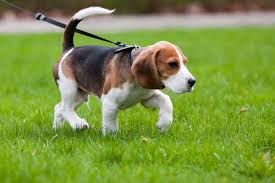 Leash Train Your Dog This Way - Walking