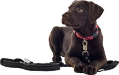 Leash Train Your Dog This Way - Introducing Leash