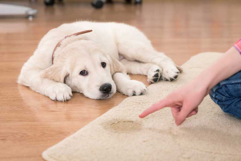 How can you stop your dog from peeing at home?