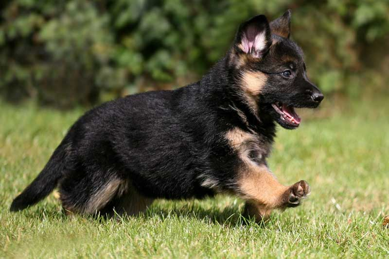 Easy Ways to Train a German Shepherd Puppy