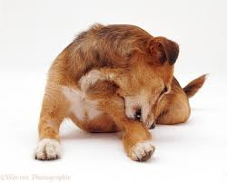 Do you know the symptoms and treatment of mange in dogs?
