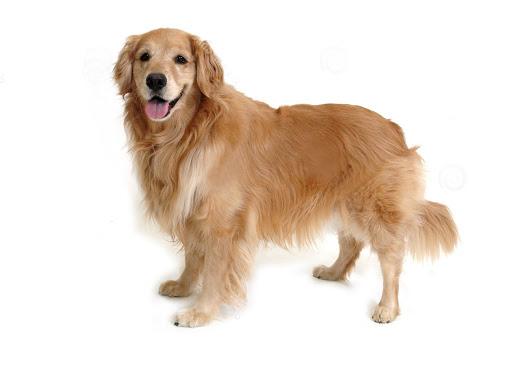 Golden Retriever Puppy For How