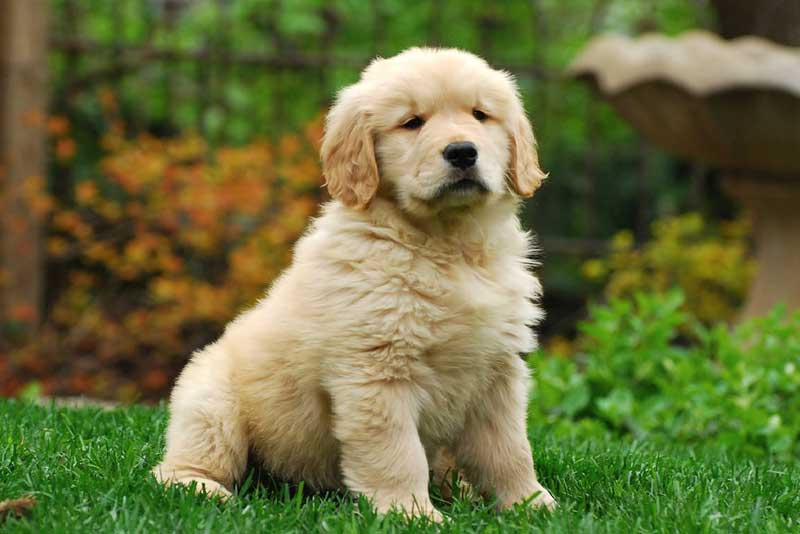 Golden Retriever Puppy For Sale – How Much They Cost And Why?