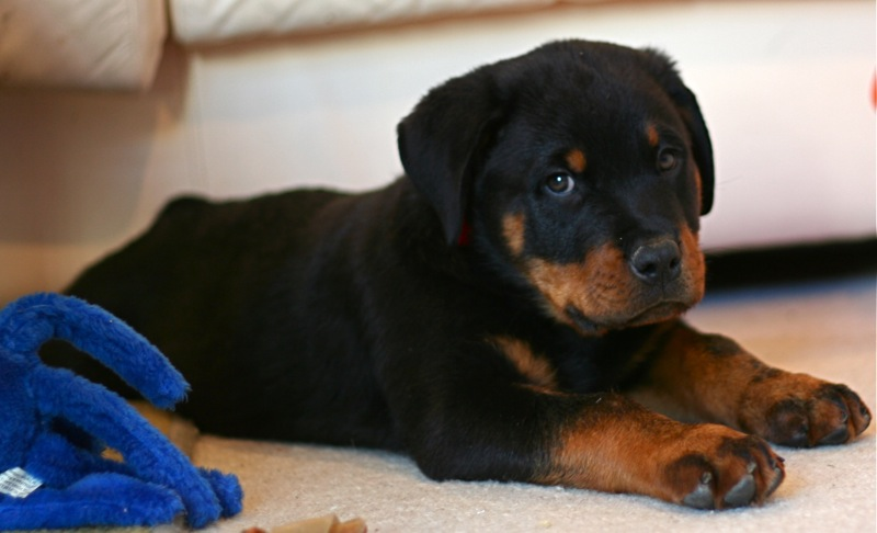 Rottweiler Puppies For Sale How Much They Cost Why Marshalls Pet Zone
