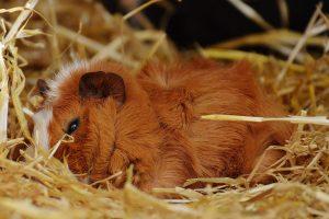 How Should Kids Handle Guinea Pig Aggression?