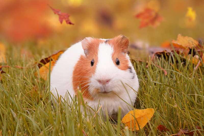 How Should Kids Handle Guinea Pig Aggression?