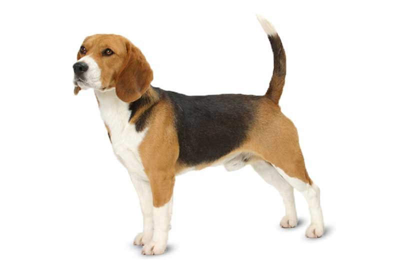 Beagle Dog Price How Much Does They Cost Why Marshalls Pet Zone