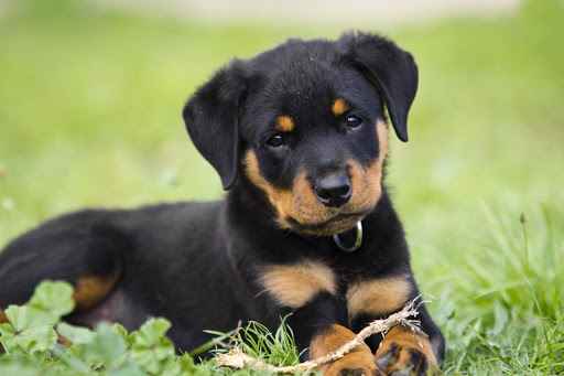 Breed Profile: A Comprehensive List Of Dogs - ROTTWEILERS