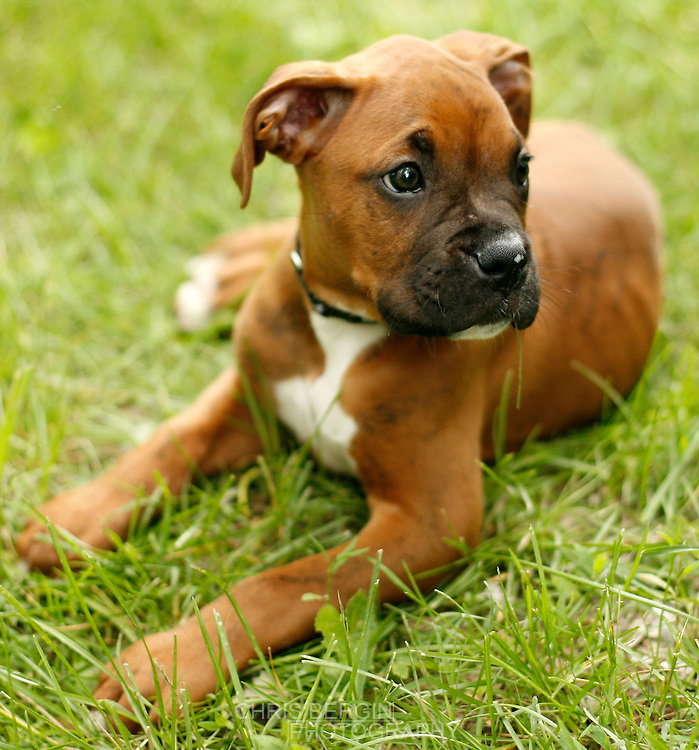 Breed Profile: A Comprehensive List Of Dogs - Boxers