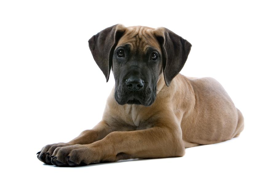 Breed Profile: A Comprehensive List Of Dogs - GREAT DANE