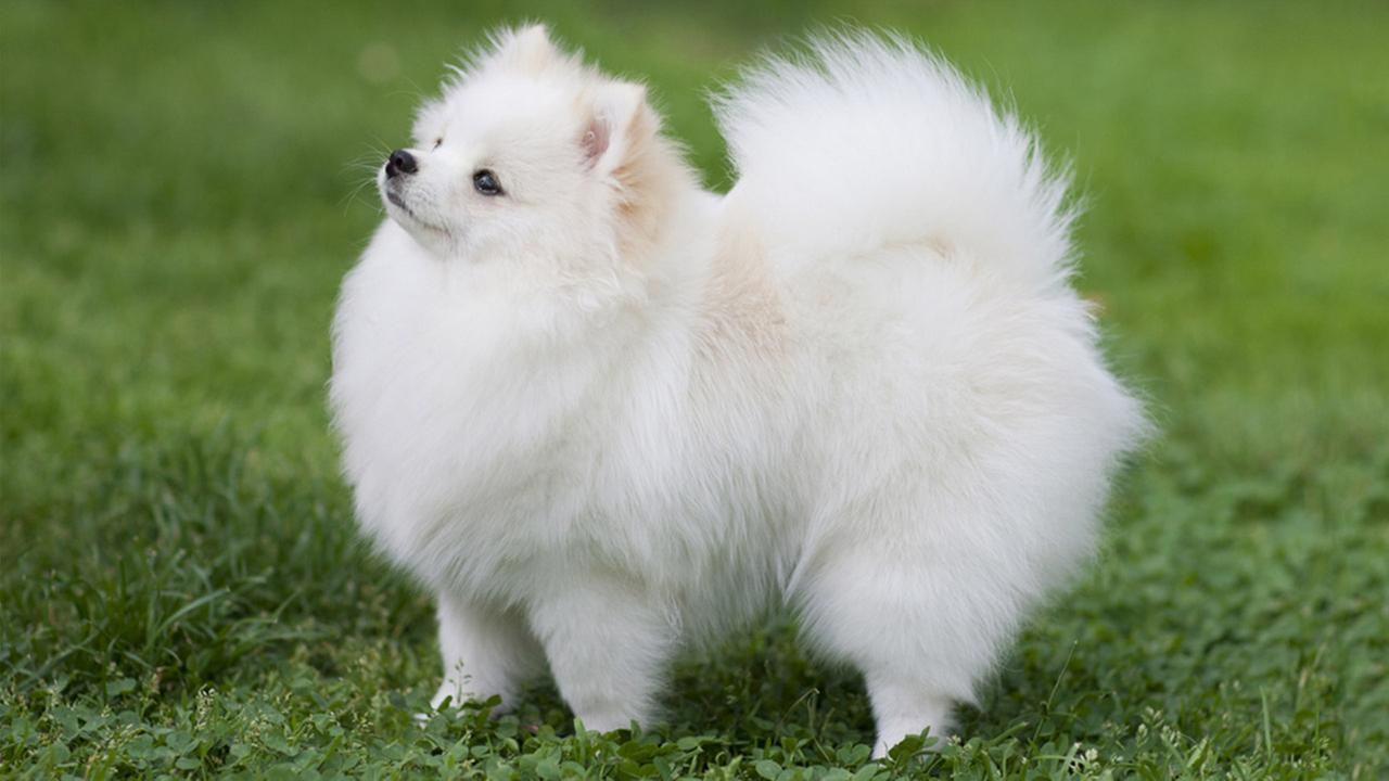 Breed Profile: A Comprehensive List Of Dogs - POMERANIAN
