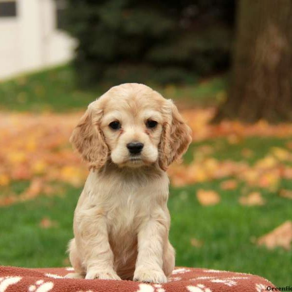 Breed Profile: A Comprehensive List Of Dogs - COCKER SPANIEL