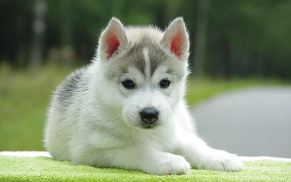 Breed Profile: A Comprehensive List Of Dogs - SIBERIAN HUSKY