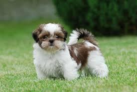 Breed Profile: A Comprehensive List Of Dogs - SHIH TZU