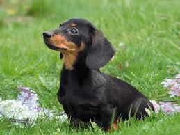Breed Profile: A Comprehensive List Of Dogs - DACHSHUND