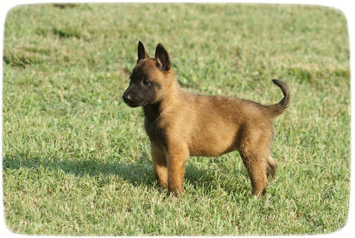 Breed Profile: A Comprehensive List Of Dogs - BELGIAN MALINOIS