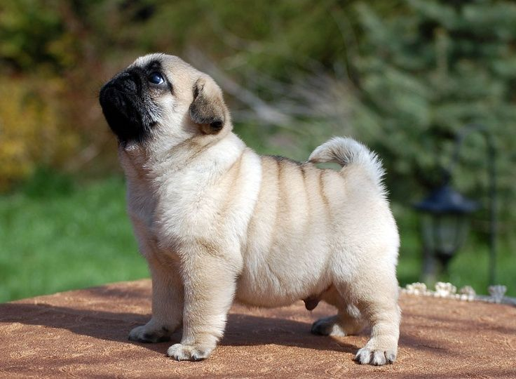 Breed Profile: A Comprehensive List Of Dogs - Pug