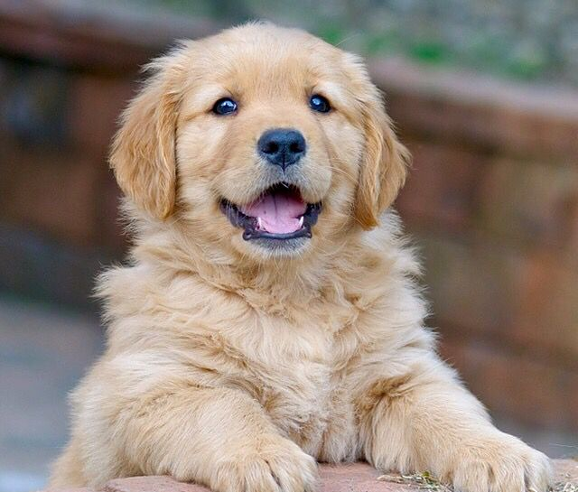 Breed Profile: A Comprehensive List Of Dogs - GOLDEN RETRIEVERS