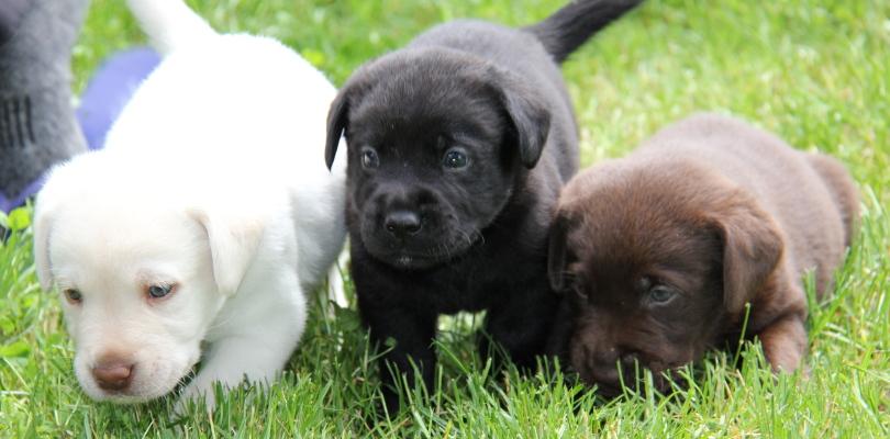 Breed Profile: A Comprehensive List Of Dogs - LABRADOR RETRIEVER
