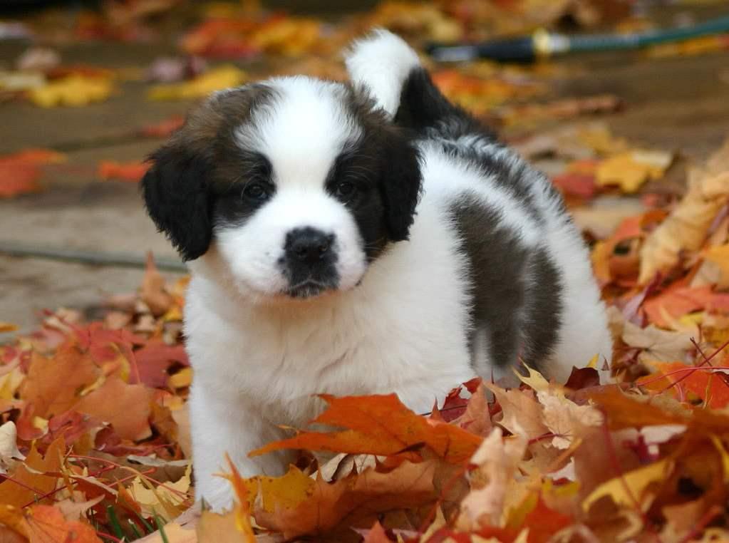 Breed Profile: A Comprehensive List Of Dogs - SAINT BERNARD
