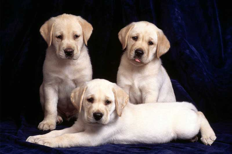 Buying A Labrador Puppy: Price And Everything You Need To Know! | Marshalls  Pet Zone