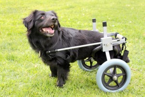 Pet Wheelchairs For Dogs With Hip Dysplasia And Arthritis