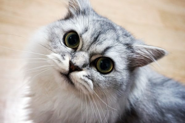 Guide to Cat Breeds A Guide to Cat Breeds - Persian Cats