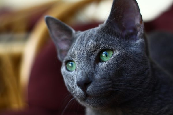 Guide to Cat Breeds A Guide to Cat Breeds - Russian blue