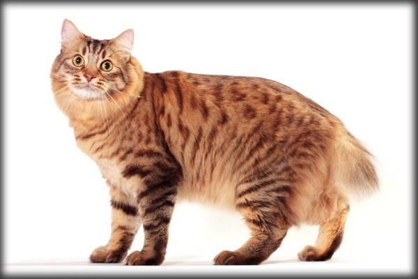 Guide to Cat Breeds A Guide to Cat Breeds - American Bobtail