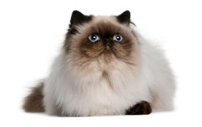 Guide to Cat Breeds A Guide to Cat Breeds - Himalayan