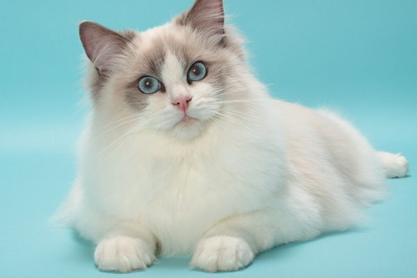 Guide to Cat Breeds A Guide to Cat Breeds - Rag doll