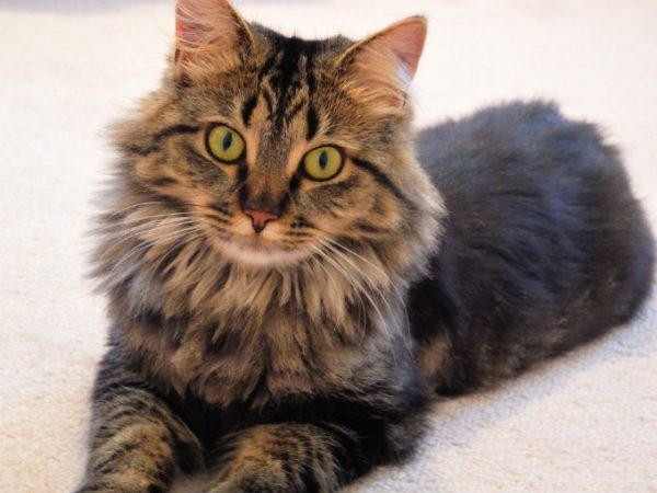 Guide to Cat Breeds A Guide to Cat Breeds - Maine Coon