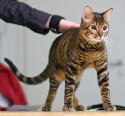 Guide to Cat Breeds A Guide to Cat Breeds - Toyger