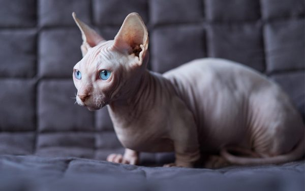 Guide to Cat Breeds A Guide to Cat Breeds - Spinx