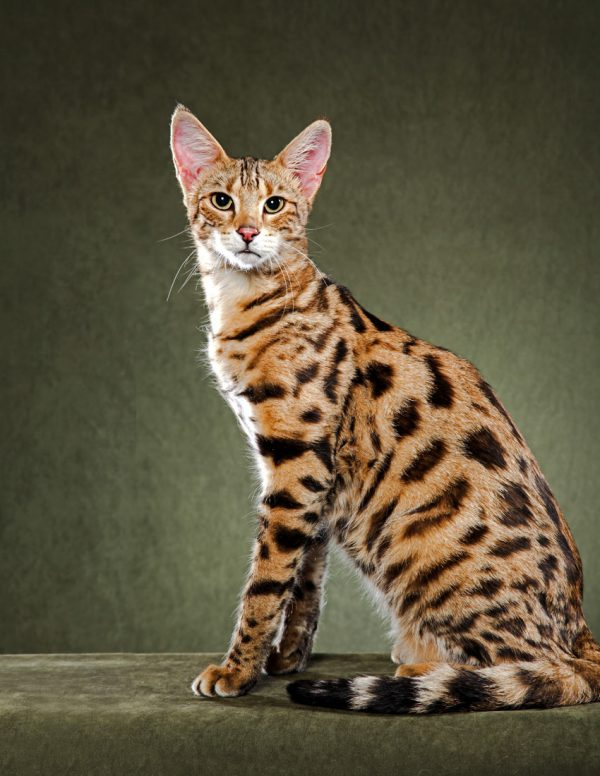 Guide to Cat Breeds A Guide to Cat Breeds - Savannah