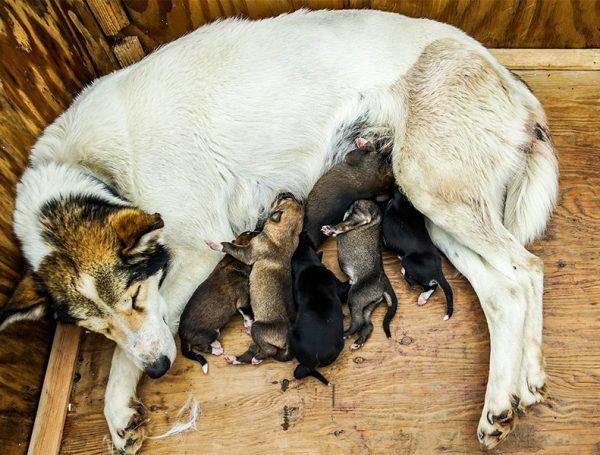Pregnancy Care In Dogs
